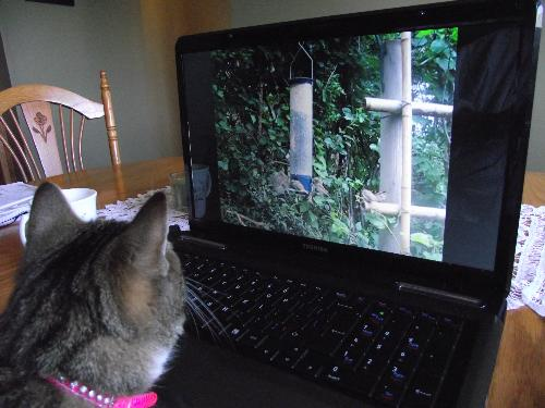 Cat watching bird video from Youtube - cat loves video