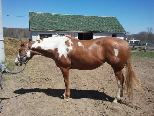 Bella - The Paint mare my friend Kim always b*iches about! It isn't Bella'a flaunt! She has a b*tchy owner!