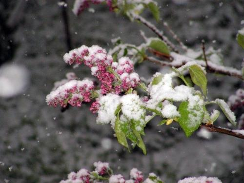 Snowed flowers - Well there wasn't suppose to be back (the snow i mean).