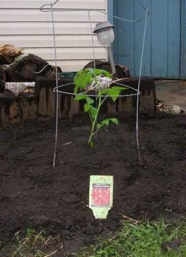 Grape Tomato Plant - Planted today 5-8.