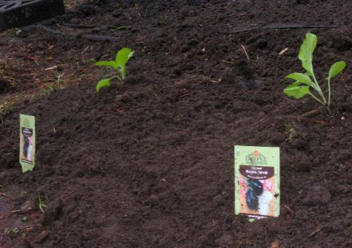 Eggplants - 2 planted today.
