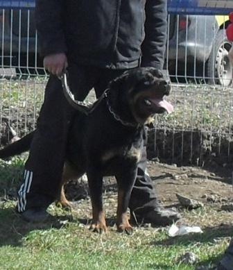 Rottweiler - Waiting to enter the show ring at CAC Brasov 2011