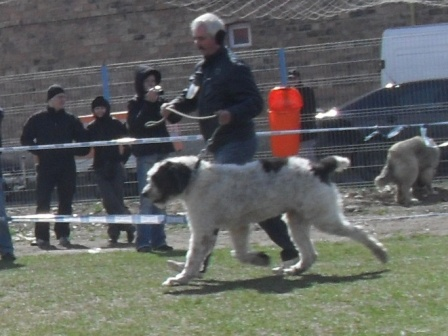Romanian Shepherd Mioritic - In the show ring at CAC Brasov 2011