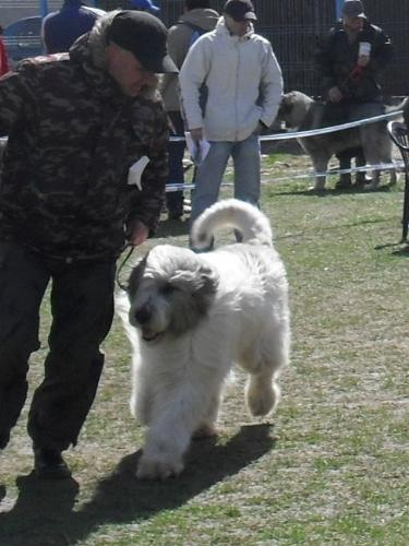 Romanian Shepherd Mioritic - Waiting to enter the show ring at CAC Brasov 2011