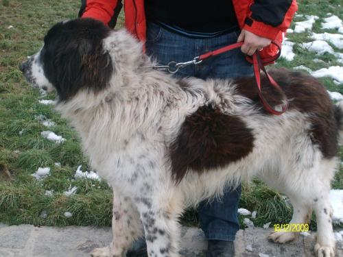Romanian shepherd - A breed originated in Romania. Beautiful and strong.