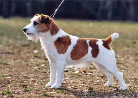 jack russell terrier  - this is the exact jrt she wants