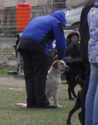 Labrador - Waiting to enter the show ring at CAC Brasov 2011
