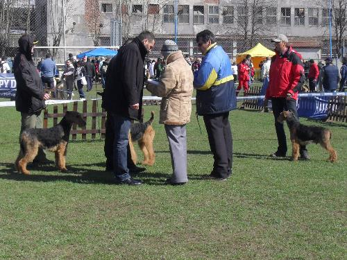Airedales - In the show ring at CAC Brasov 2011