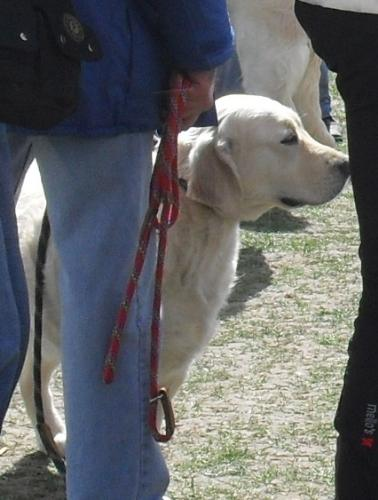 Golden Retriever - Waiting to enter the show ring at CAC Brasov 2011