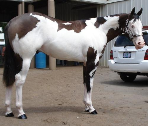 beautiful Paint - I am a big fan of Paints! They are the most colorful of all breeds of horses!
