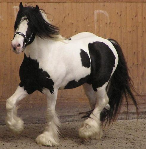 Gypsy Vanner - Gypsy Vanner's are sometimes pinto color,like this one. They are used for riding and for driving.