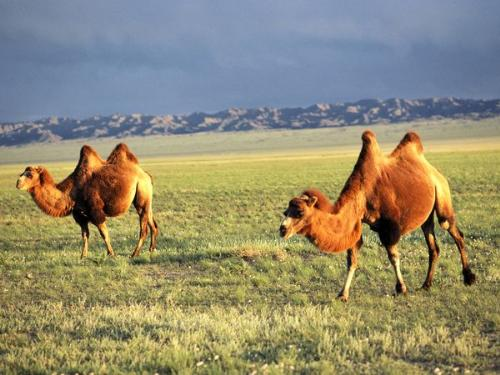 Camels - Two humped Camels. The are called Bactrian Camels and are endangered.