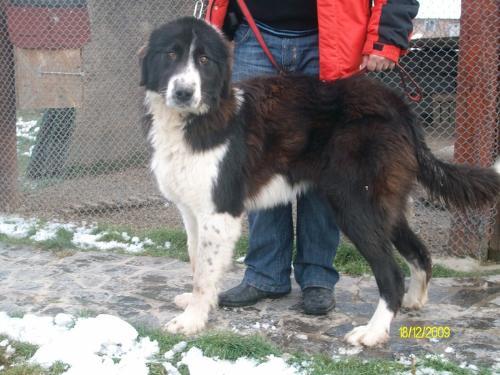 Romanian shepherd - A beautiful breed originated in Romania
