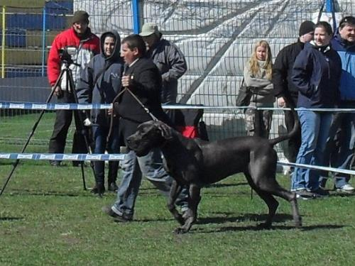 Deutche Kurzhaar - Waiting to enter the show ring at CAC Brasov 2011