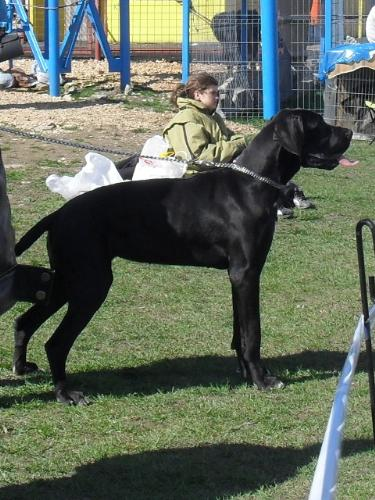 Great Dane - Waiting to enter the show ring at CAC Brasov 2011
