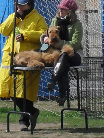 Airedale Morris - Waiting to enter the show ring at CAC Brasov 2011