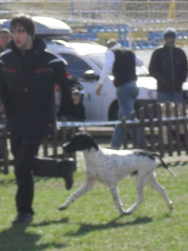 English Pointer - Waiting to enter the show ring at CAC Brasov 2011