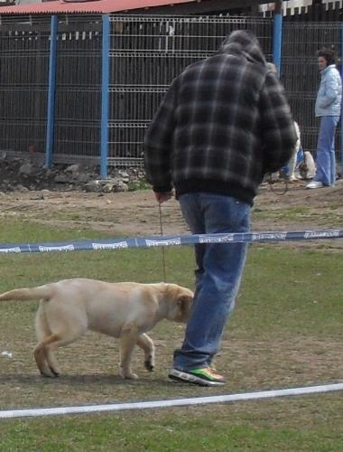 Labrador puppy - Waiting to enter the show ring at CAC Brasov 2011