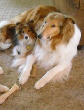 Sheltie and Collie - The one from the left is a Sheltie and the one from the right is a Collie. They are both adult dogs, though ones could believe they are mother and daughter LOL