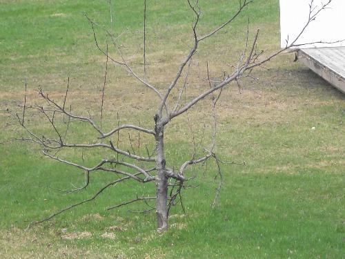 ugly apple tree - backyarrd apple tree