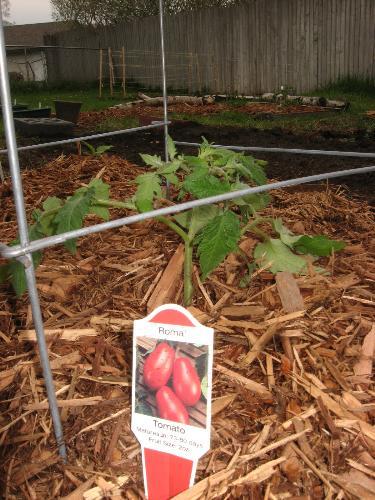 Tomato - Roma Tomato planted recently.