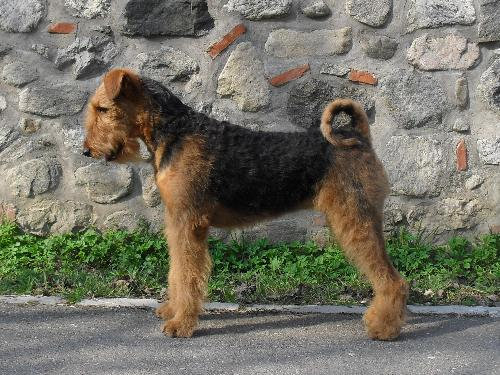 My dog, Binne - She's a 17 months old Airedale Terrier.