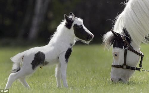 Einstein - Einstein is a miniture horse and the smallest horse in the world! He weighted only 8 pounds at birth!
