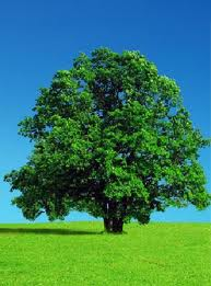 Tree nice for shade but once down hassle to remove - Tree good for shade and oxygen.