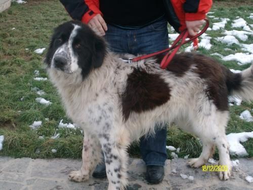 Romanian shepherd - This is a breed originated in Romania
