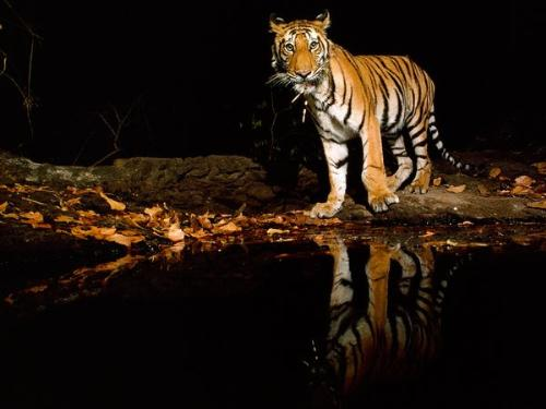 Tiger - A Tiger seeing its reflection in the water.
