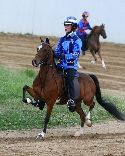 Hackney Pony - Hackney Pony under saddle. Never seen a Hackney under saddle before!