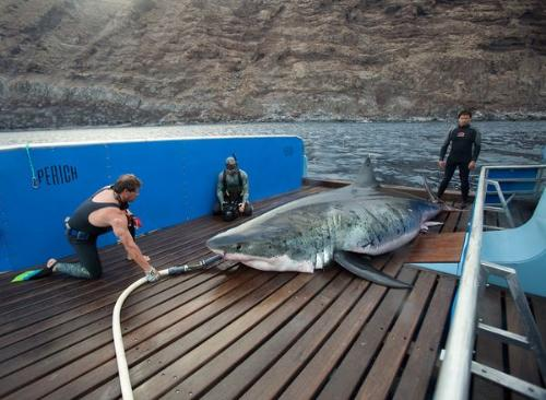 Big male Shark - This male shark is a Great White. It is the largest Great White to be ever caught! It was measured at 17.9 feet long! After being checked out and tagged it was released back into the water.