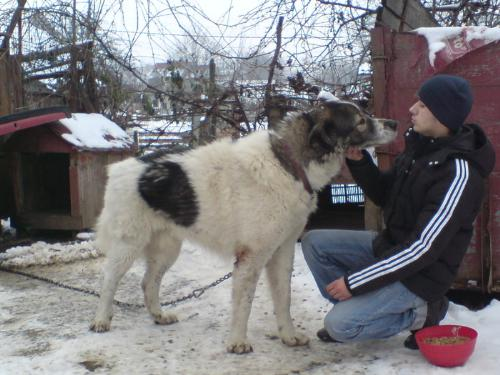 Romanian shepherd - A beautiful and strong dog originated in Romania