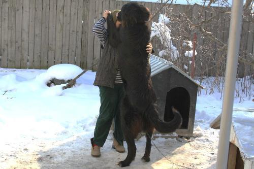 Romanian shepherd Corb - A beautiful and strong dog originated in Romania