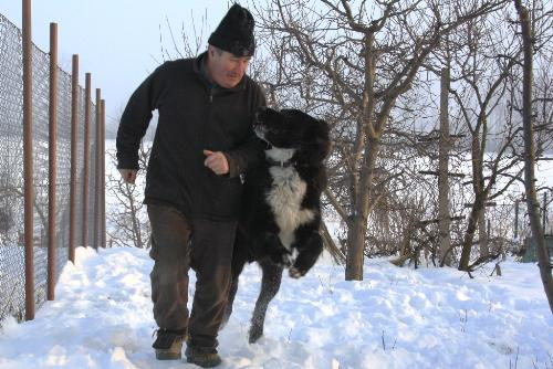 Romanian shepherd Corb - A beautiful and strong dog originated in Romania