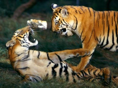Tigers Playing - It looks they are not playing but they are really play fighting!