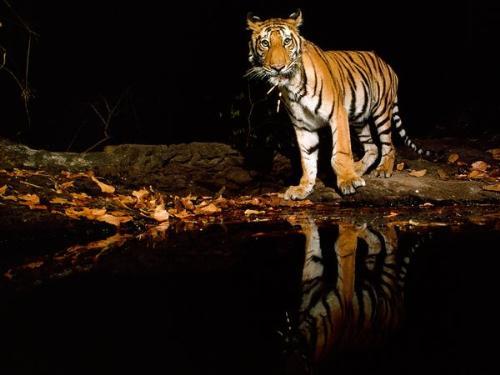 Reflecting pool - A Tiger at a reflecting pool.