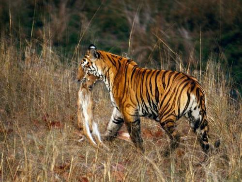 Tiger with prey - A Bengel Tiger dragging off its prey.