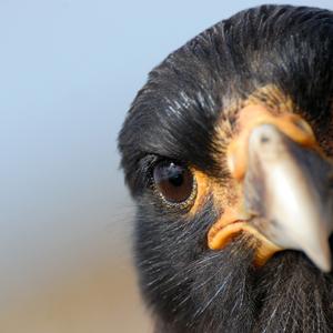 Eagle - Eagle eye
