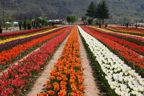 Tulip gardens - The tulip garden at Srinagr in the Kashmir valley, India