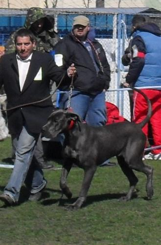 Great Dane - In the show ring at CAC Brasov 2011