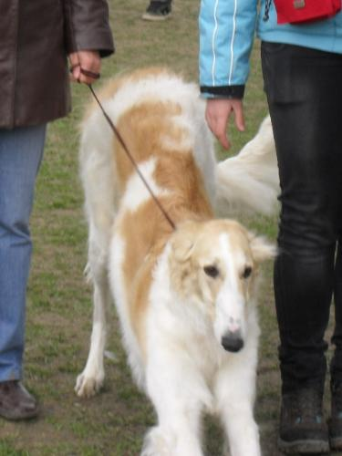 Borzoi - Waiting to enter In the show ring at CAC Brasov 2011