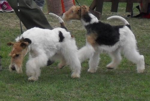 Fox Terriers - In the show ring at CAC Brasov 2011