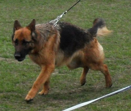German Shepherd - In the show ring at CAC Brasov 2011