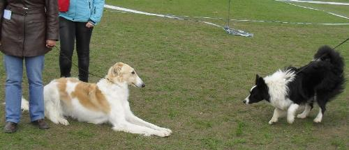 An invitation to play - A Border Collie in love with the calm Borzoi made her an invitation to play