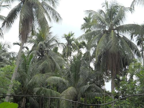 coconut trees - coconut trees in my campus... i am about to miss.