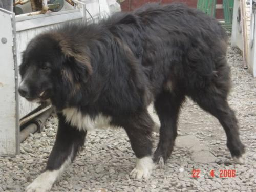 Romanian shepherd Corb - A new Romanian breed, it has not been registered as an official FCI breed.
