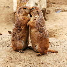 Kissing Prairie dogs - They must be in love they way they are kissing! Lol!