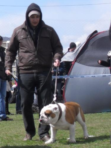 English Bulldog - Waiting to enter the show ring at CAC Brasov 2011