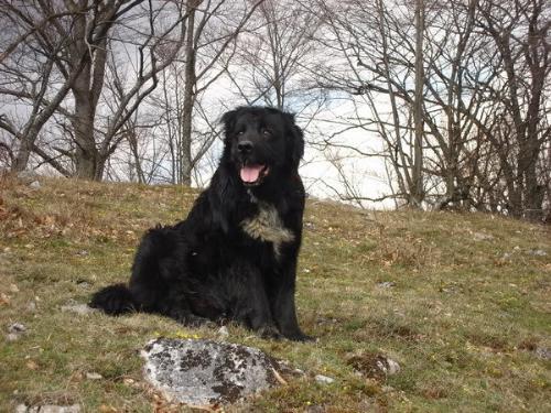 Romanian shepherd Corb - A new Romanian Shepherd